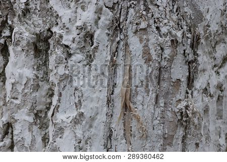 Gray White Natural Painted Wood Bark Texture
