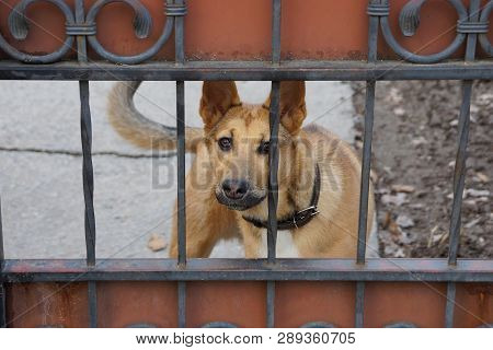 A Big Brown Dog Is Standing On The Street Behind The Iron Fence