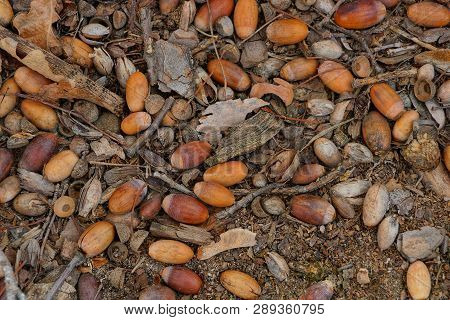 Lots Of Dry Brown Acorns Lay On The Ground