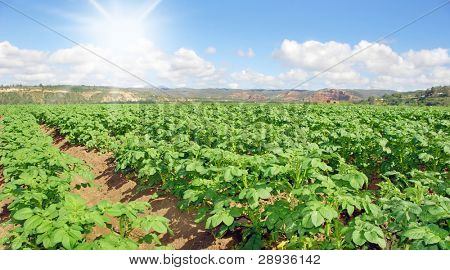 Young potato field with sky and sun