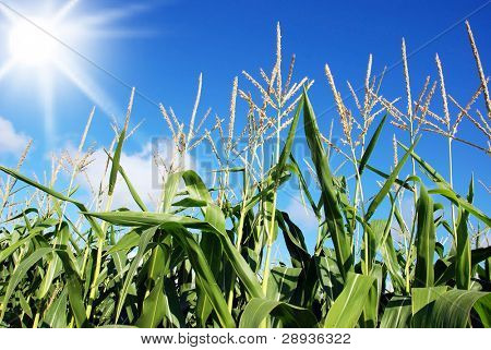 Maize field against sun and sky