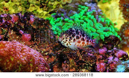 Pixy / Spotted Hawk Fish - Cirrhitichthys Oxycephalus