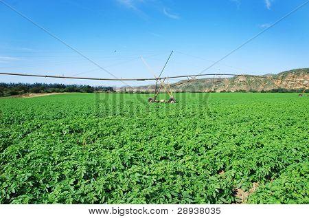 a Green potato field with a modern irrigation system