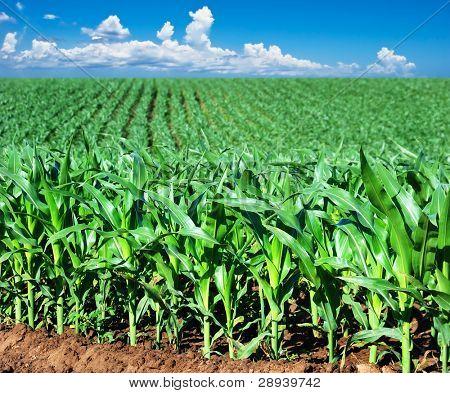 a Green maize field