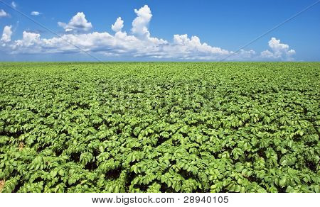 a Green potato field