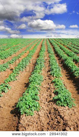 Farm field with young potato plants