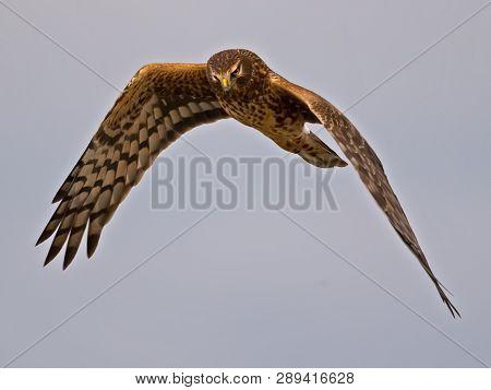 A Northern Harrier Hawk In Flight Hunting
