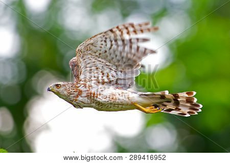 A Coopers Hawk In Flight Against Blue Sky