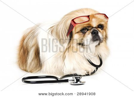 Pekingese dog with a doctor's stethoscope and red reading glasses on a white background with space for text poster