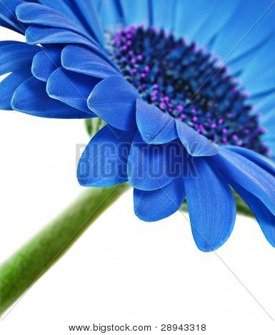 Close up abstract of colorful blue daisy gerbera flower