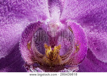 Macro. Labellum Flower Orchid Phalaenopsis Purple Color Closeup In Soda Water With Drops