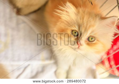 A Furry Red And White Turkish Angora Cat Looking Close Up. Kitten Cat With Pedigree And Green Eyes.