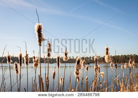 Fluffy Flower Spikes Of Bulrush Or  Typha Latifolia Plants Against A Bright Blue Sky With Contrails