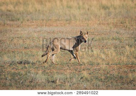 Wet Gray Wolf (canis Lupus) Runs Across The Field. Chyornye Zemli (black Lands) Nature Reserve, Kalm