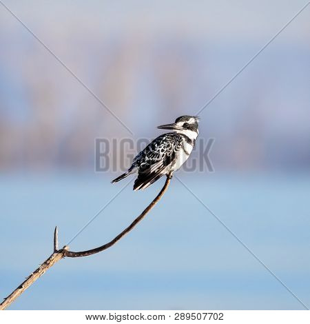 Male pied kingfisher, Ceryle Rudis, on a branch over Lake Naivasha, Kenya. Males have an additional black band across the chest, which is missing in the female. The only black and white kingfisher