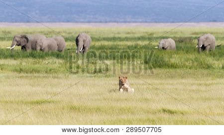 Young adult lioness in the lush green grasslands of Amboseli National Park, Kenya. A herd of elephants are walking behind her against the foothills of Mount Kilimanjaro.