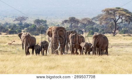 A large bull elephent has joined a herd because he is in musth. Adult males will join a group of females during mating season.