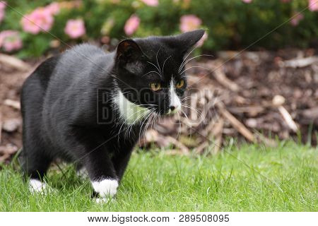 4-month old kitten, a black and white British short-hair moggie, is carefully stalking an out-of-shot insect in the back garden. Photograph taken in late summer in the UK poster