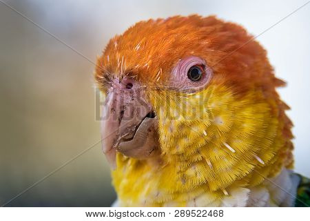 A Close Up Head Portrait Of A White Bellied Caique, Pionites Leucogaster, Against A Light Background