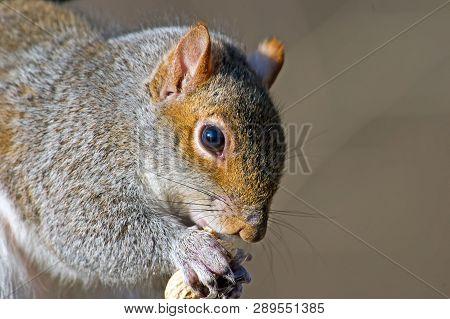 An Eastern Gray Squirrel Eating A Peanut