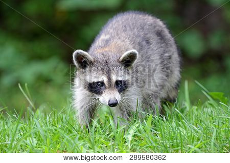 A Large Raccoon In A Field Of Grass