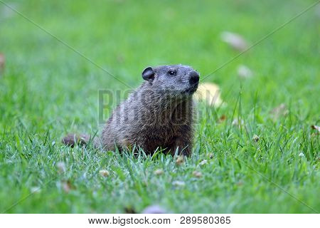 A Groundhog Sitting In A Field Of Grass