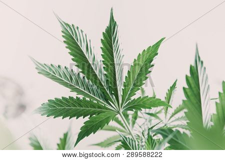 Marijuana Leaves On Light, Hemp Marijuana Cbd, Indoor Grow Cannabis Indica, White Background Cultiva