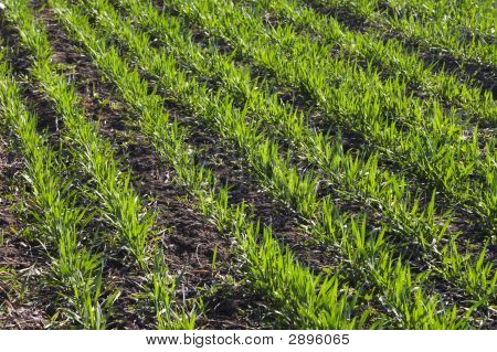 Row Of Wheat On Land