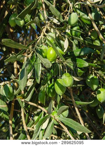 Branch With Green Greek Olives. Greece Food