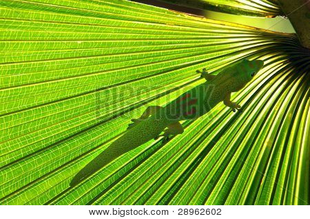 Gecko hides beneath the pleated frond of a palm tree. Sunlight filters through leaf further hiding the small amphibian. poster