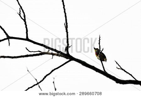 Coppersmith Barbet On Black Branch Tree And White Background