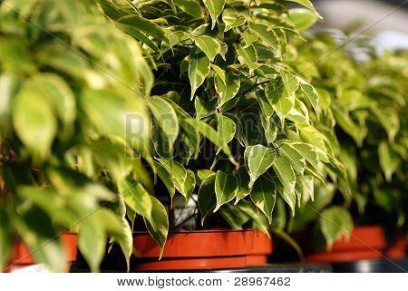 Ficus Benjamina Plants In Garden Center