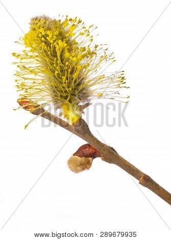 Salix caprea, goat willow, pussy willow, great sallow, close up poster