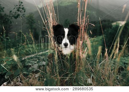 Portrait Beautiful Happy And Smiling Black And White Dog Border Collie In Field And Look In Camera.