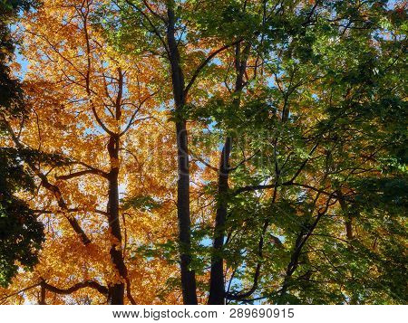 Trees And Branches With Yellow And Orange Autumn Leaves As Nature Background. The Sun Shining Throug