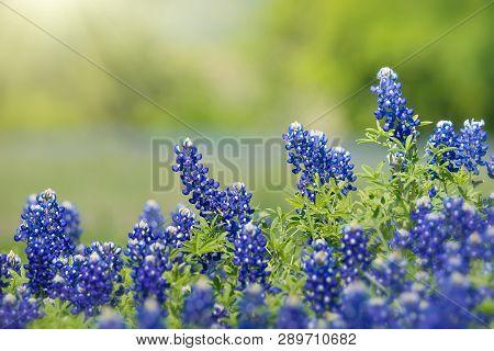 Texas Bluebonnet (lupinus Texensis) Flowers Blooming In Springtime. Selective Focus. Natural Geen Ba