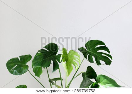 Monster In The Interior On A Gray Background. Monstera Leaves In The Sun In Natural Light.