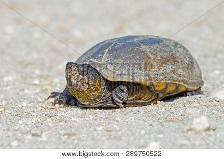 A Mud Turtle Crossing A Dirt Road