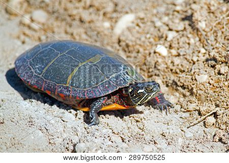 Eastern Painted Turtle Crossing The Dirt Road