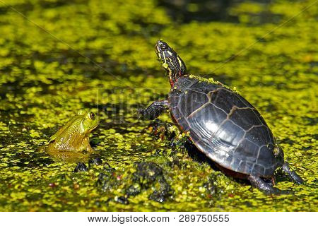 An Eastern Painted Turtle And A Bullfrog