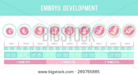 Infographic With Stages Of Pregnancy And Embryo, Fetus Development.