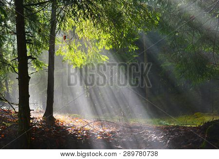 Forest. Sunbeams In Evergreen Conifer Foret In Spring