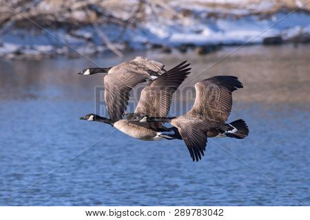 Adult Canada Goose Flying Above A Calm Blue Water Lake