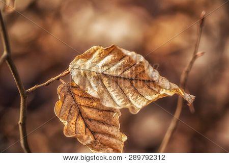 Zwei Blätter, Angestrahlt Von Der Sonne, Hängen Vertrocknet Vom Ast