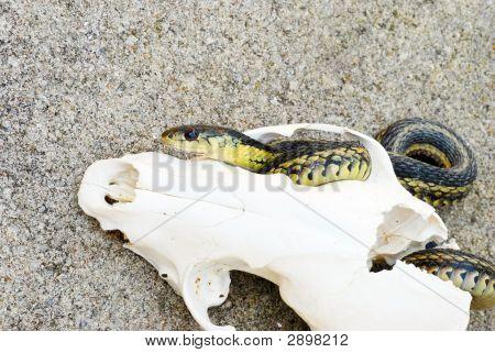 Garter Snake In A Fox Skull