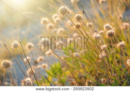 Sunset light through thorn or bur flowers and grass poster