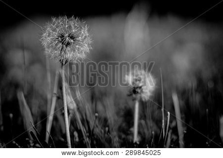 Dandelion seed head in perfect symmetry wait to be blown by wind and have seeds distributed. poster