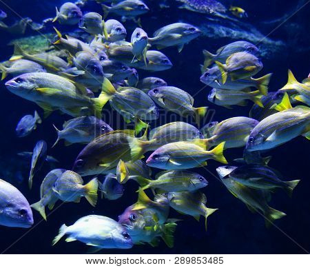 School Fish Of Blue Lined Snapper Fish Swimming Marine Life Underwater Ocean / Lutjanus Kasmira