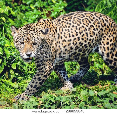 Roar Tiger Leopard Jaguar Animal Wildlife Hunting / Beautiful Jaguar Walking In Jungle Looking Food