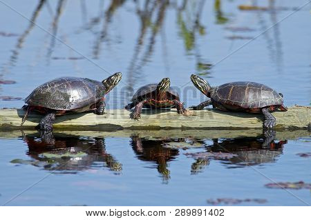A Group Of Painted Turtles Sitting On A Log